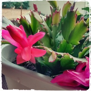 Schlumbergera sp - Cactus de Navidad