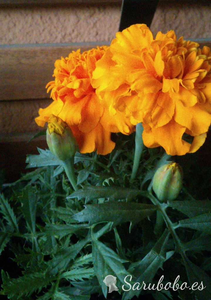 Sarubobo: Clavel moro - Tagetes patula