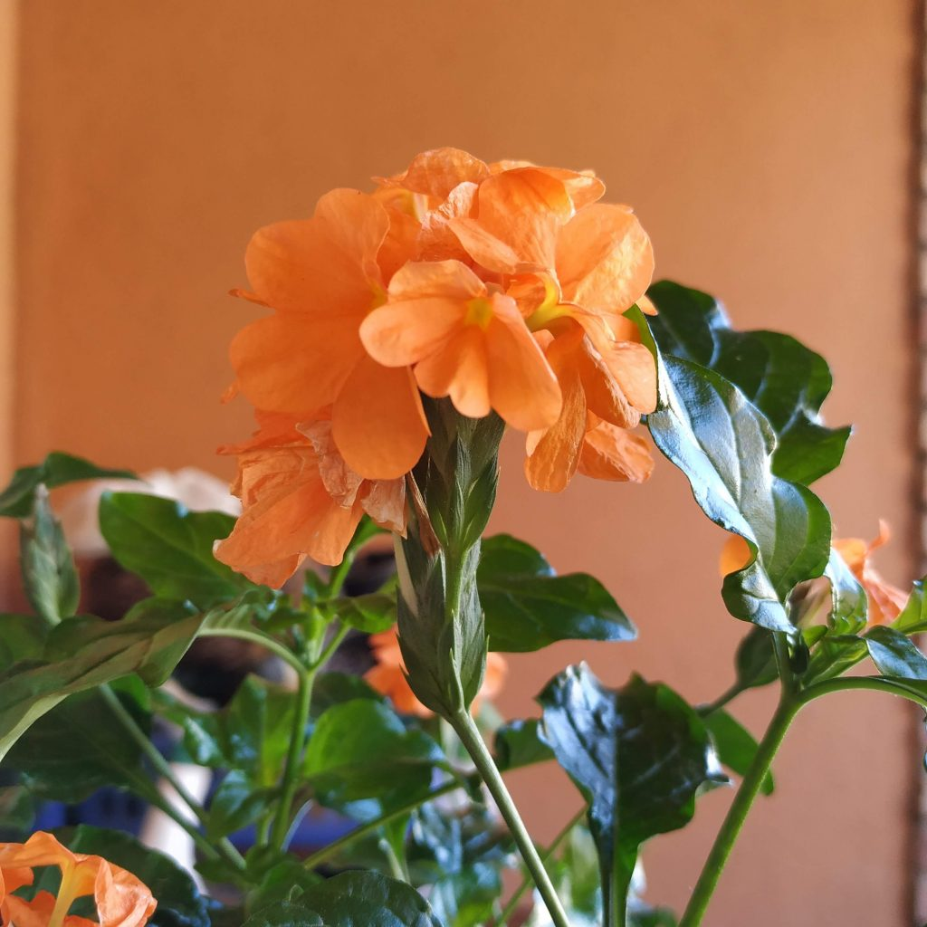 Flores naranjas de la crosandra